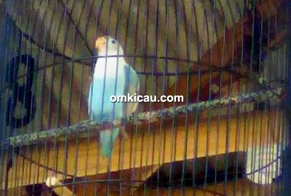 lovebird Rampok