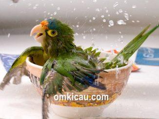 lovebird tipe basah dan kering