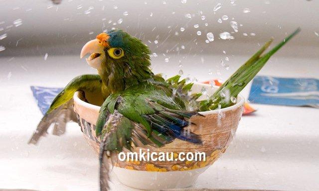 Ciri-ciri lovebird tipe basah dan kering