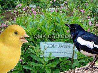 manfaat ginseng jawa untuk burung kicauan