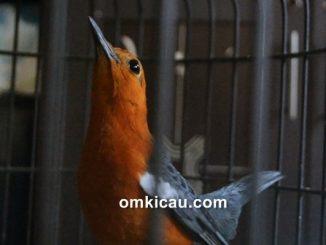 Burung anis merah ngecir