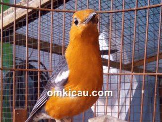 Tips perawatan burung anis merah
