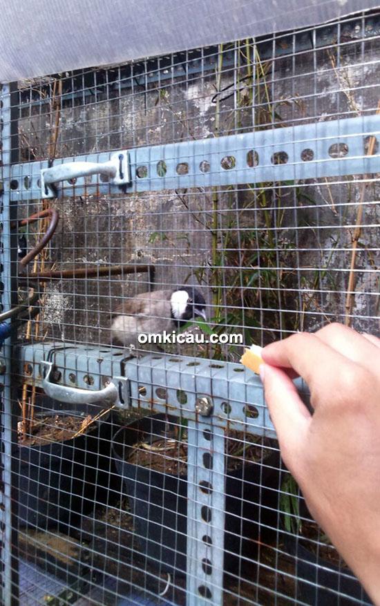perawatan burung bulbul