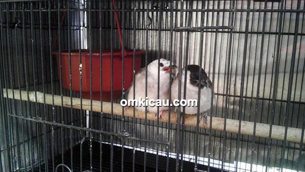 pasangan induk burung bulbul