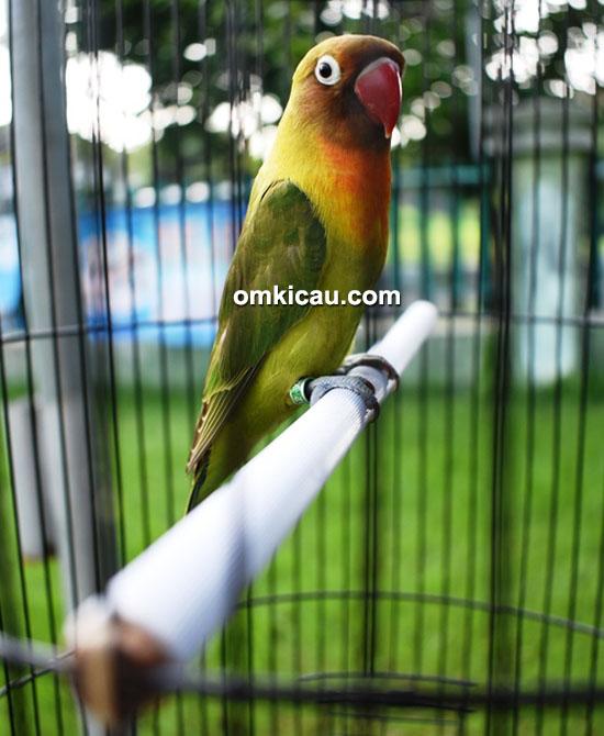 Lovebird Achilis