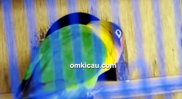Lovebird Black Magic