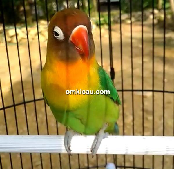 lovebird Diandra