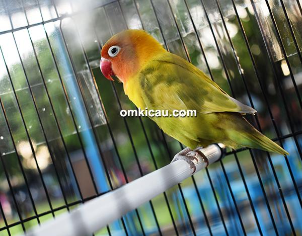 Lovebird Sekar Wangi
