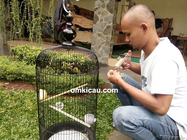 perawatan lovebird balibu