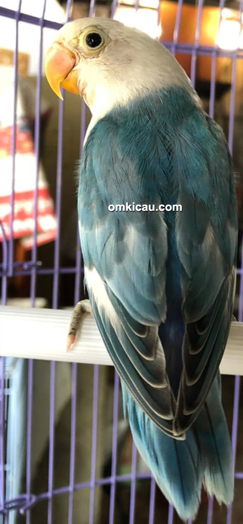 lovebird Blue FC