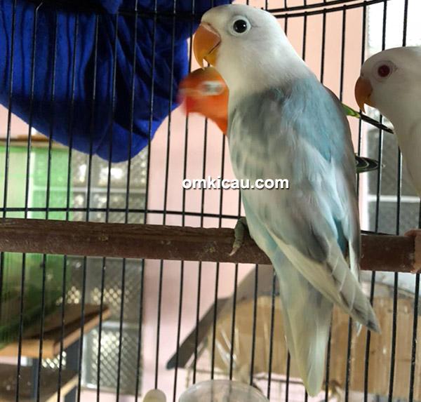 Lovebird BS Blue trah Parblue