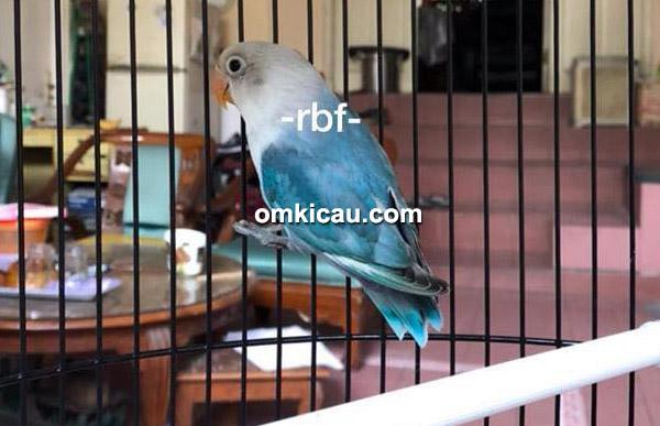 Lovebird Blue Fischeri