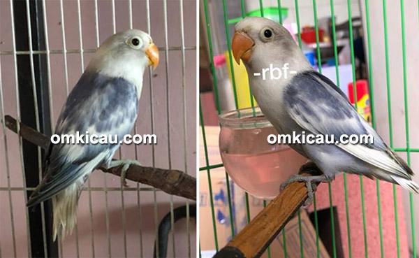 lovebird BS Vio