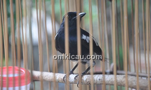 burung jinak yang berubah liar