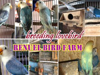 breeding lovebird Renuel BF