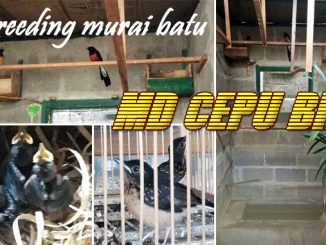breeding murai batu MD Cepu BF