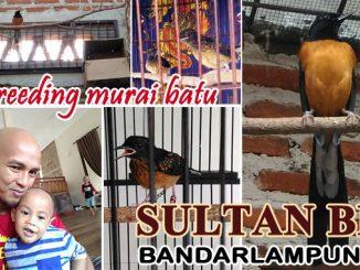 ternak murai batu Sultan BF Bandarlampung