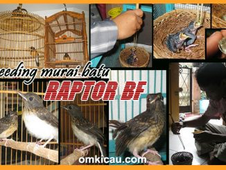 breeding murai batu Raptor BF