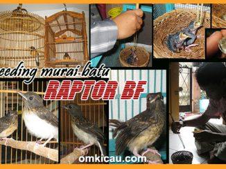 breeding murai batu Raptor BF