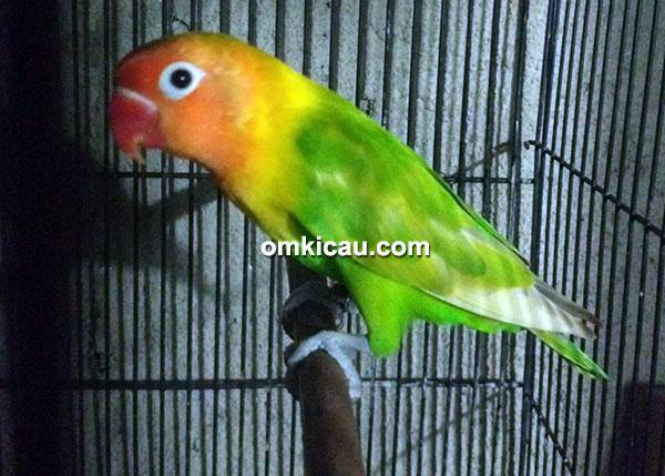 hasil breeding Athar BF