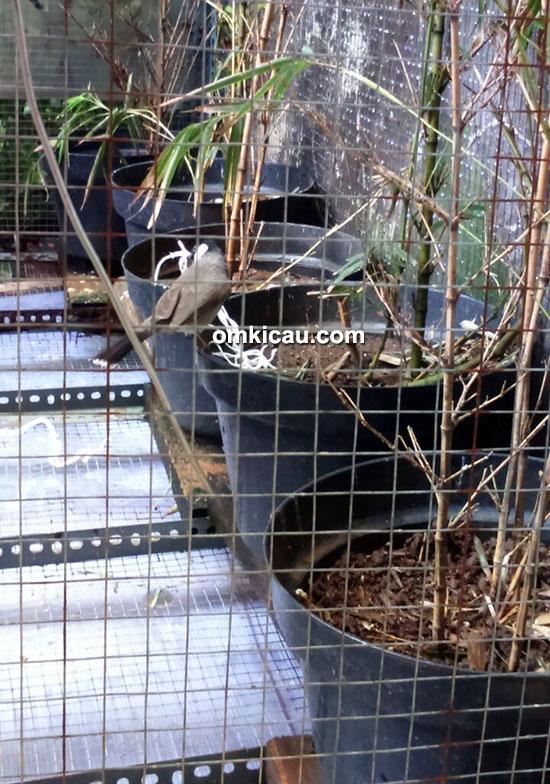 Kandang ternak burung bulbul