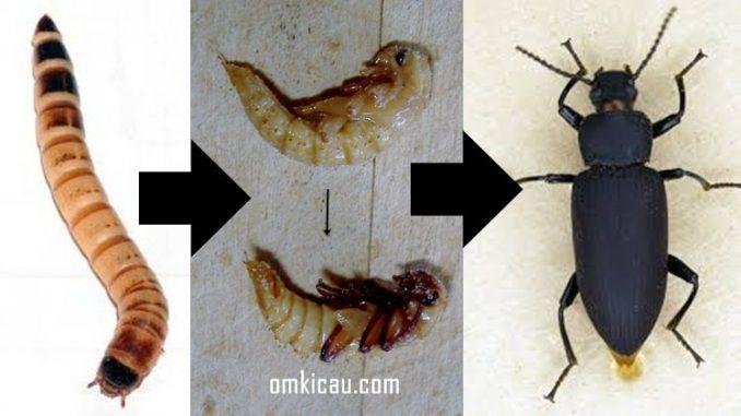 Proses perubahan dari ulat menjadi kumbang