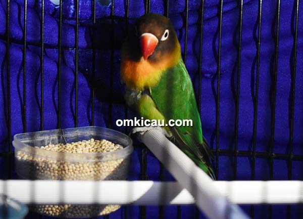 lovebird Milty