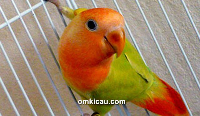 Ragam solusi atasi lovebird yang kerap naik turun tangkringan