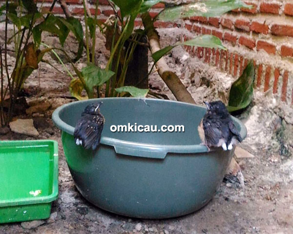 cara ternak burung murai batu