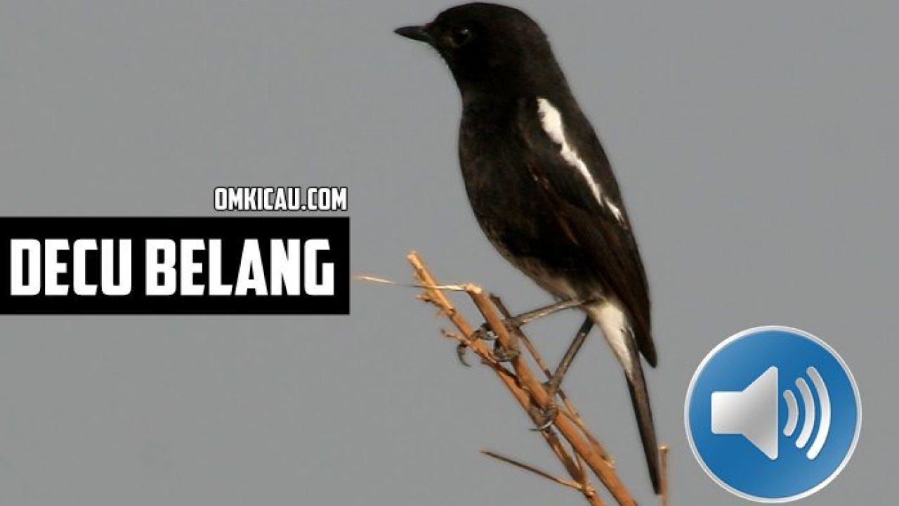 Perawatan Burung Decu Bakalan Plus Suara Kicauannya Untuk Memancing Bunyi Om Kicau