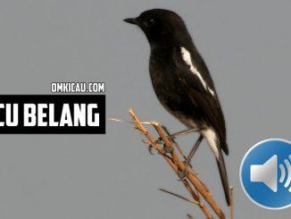 Burung decu belang yang berpenampilan mirip burung kacer