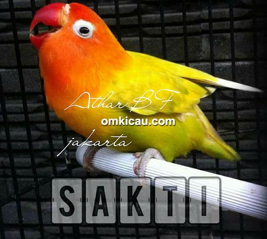 breeding lovebird Athar BF