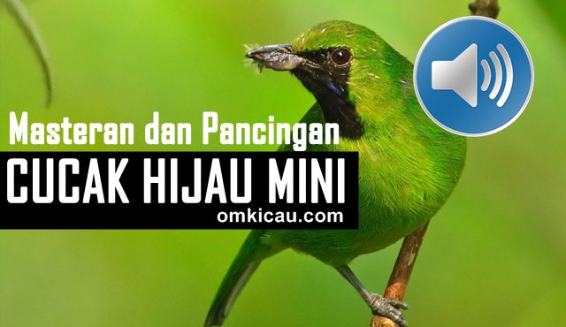 suara burung cucak hijau mini