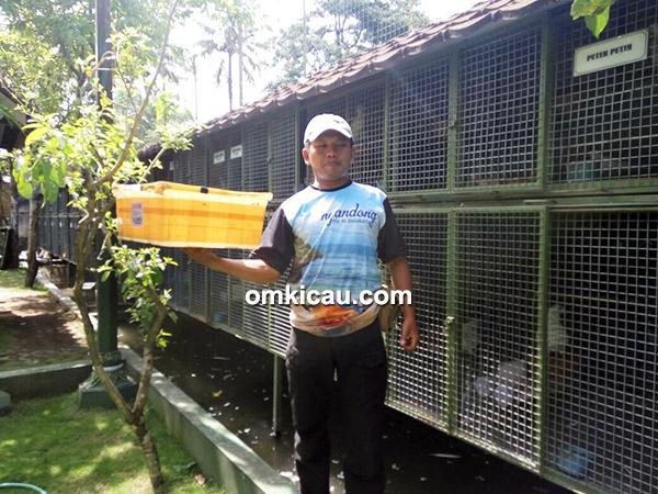 Breeding merpati hias Pawiro BF