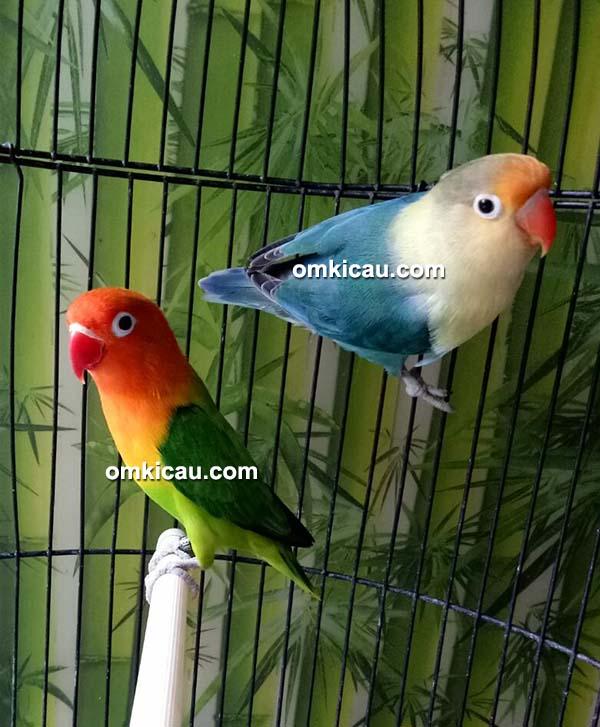 penangkaran lovebird warna