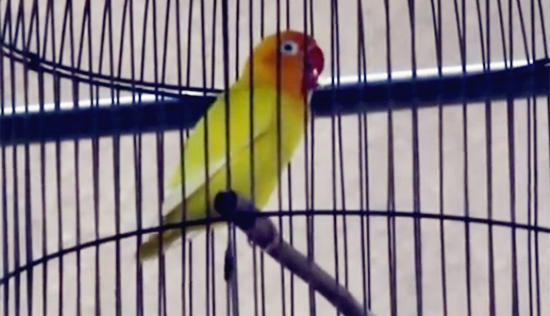 Lovebird Awe We