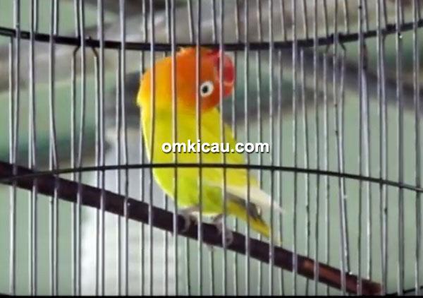 Lovebird Israel