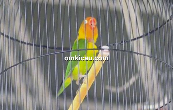 Lovebird Manggala