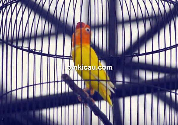 Lovebird Marocak