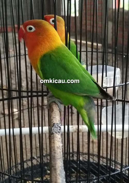 Lovebird Nirmala Jr 016