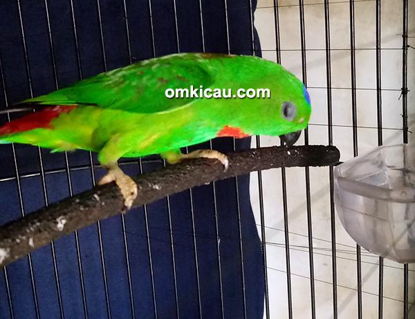 cara merawat burung serindit