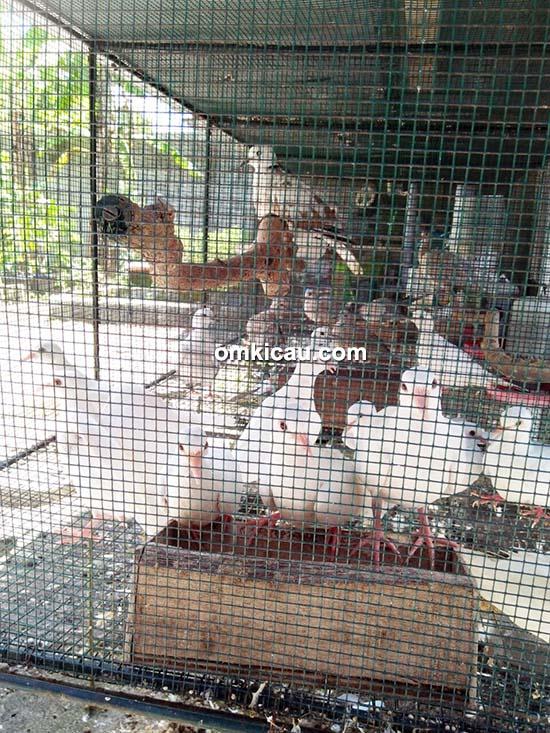 BMKG BF Penangkaran Burung Perkutut Dan Puter Di Gamping