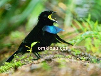 Cenderawasih vogelkop