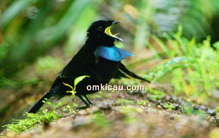Burung cenderawasih vogelkop
