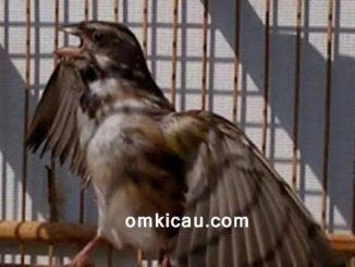 Mengenali ciri-ciri burung blackthroat yang sudah siap ternak / kawin