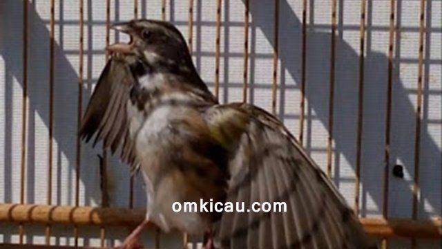 ciri-ciri burung blackthroat siap kawin