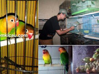 breeding lovebird Arek BF Depok