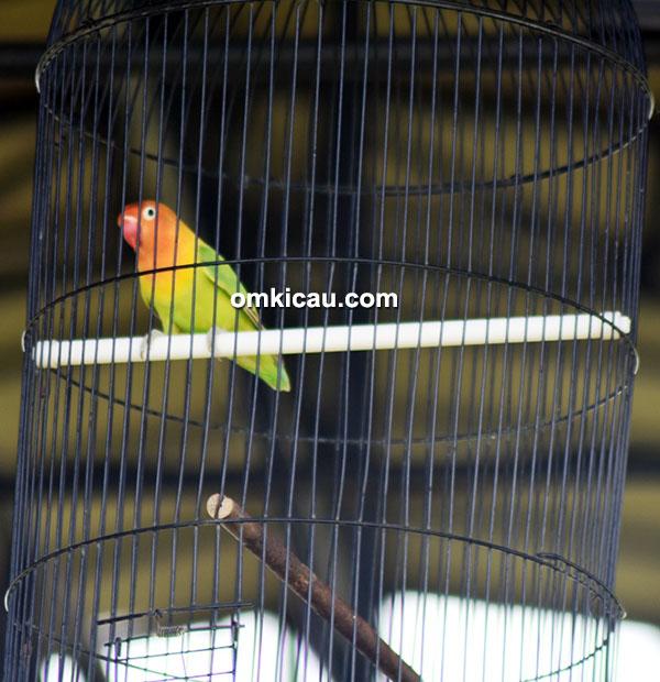lovebird Badrus