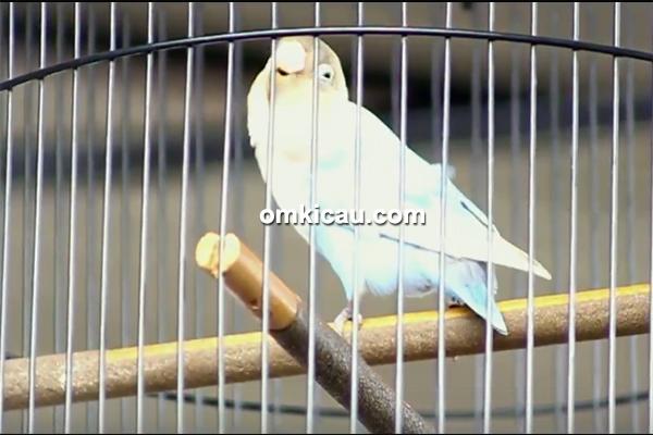 lovebird Zoro
