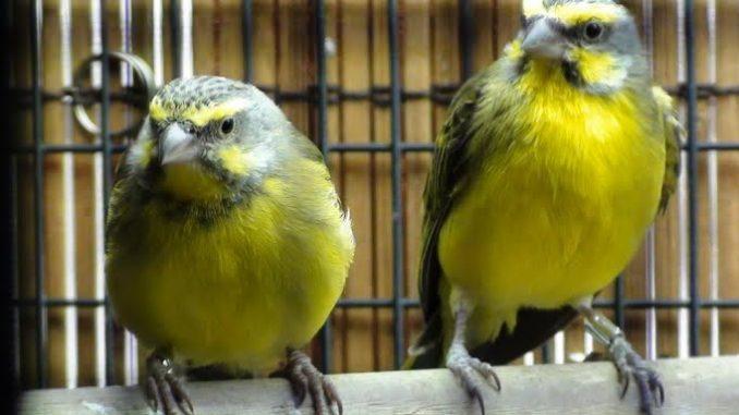 perawatan burung mozambik